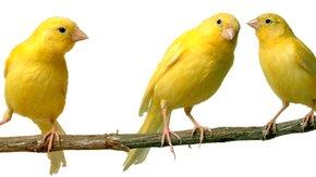 De reflectie van een gele kanarie